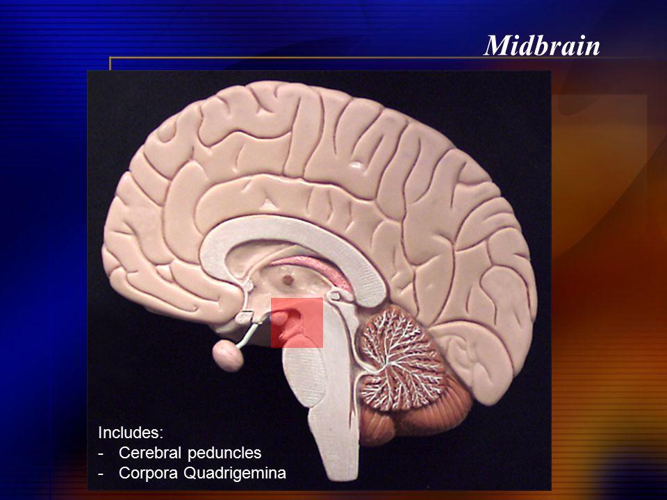 Midbrain Includes: Cerebral peduncles Corpora Quadrigemina