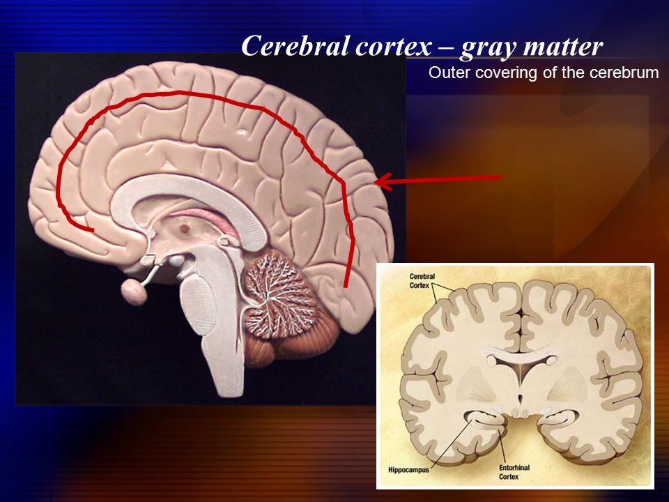 Cerebral cortex – gray matter
