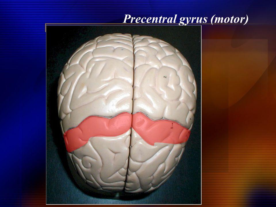 Precentral gyrus (motor)