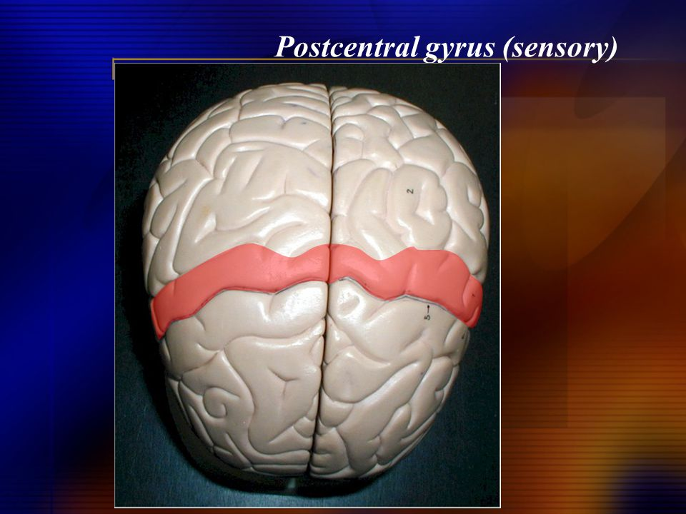 Postcentral gyrus (sensory)