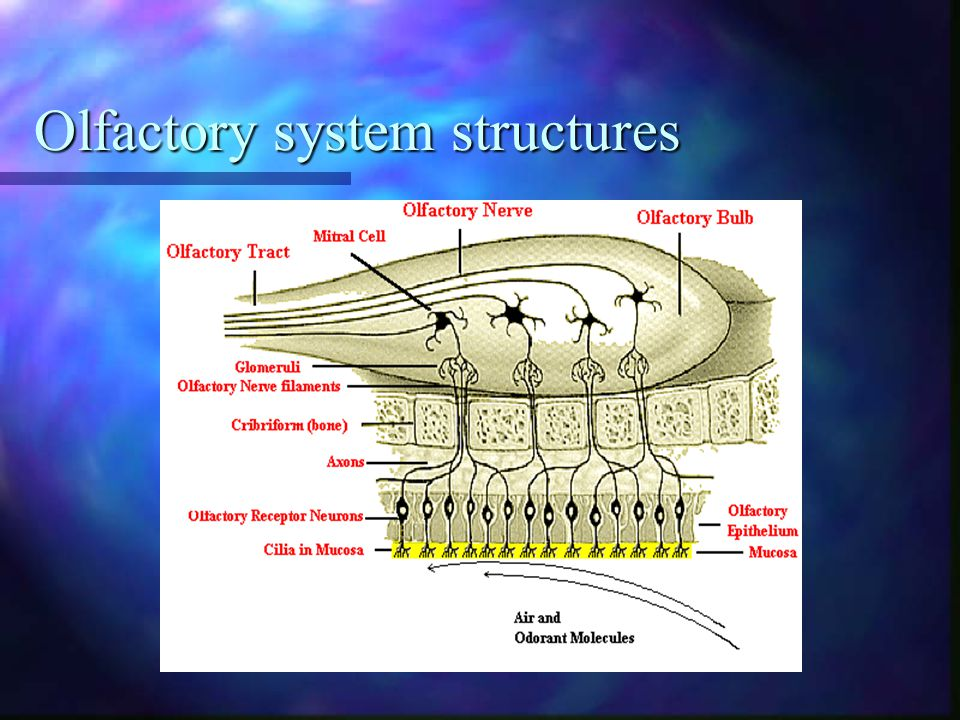 Olfactory system structures