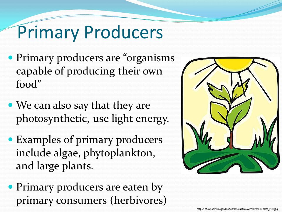 Primary Producers Primary producers are organisms capable of producing their own food