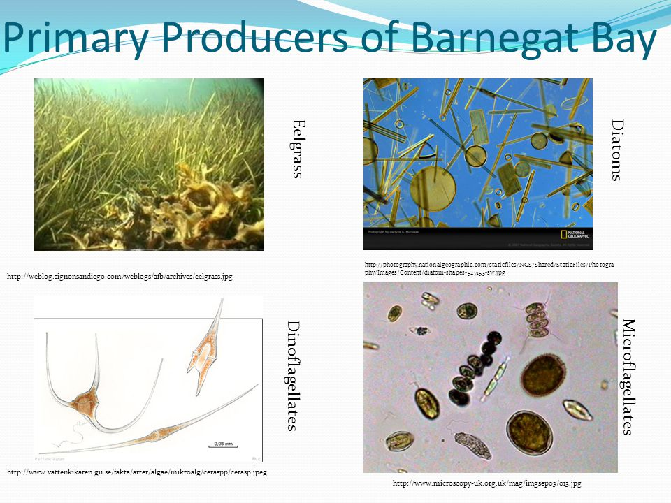 Primary Producers of Barnegat Bay