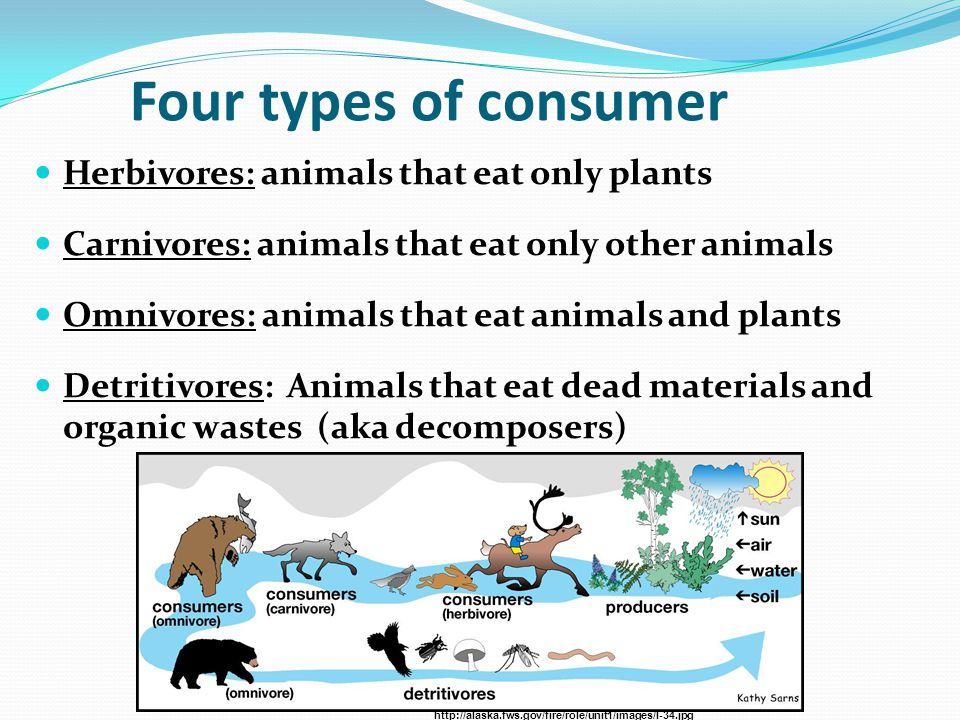 Four types of consumer Herbivores: animals that eat only plants