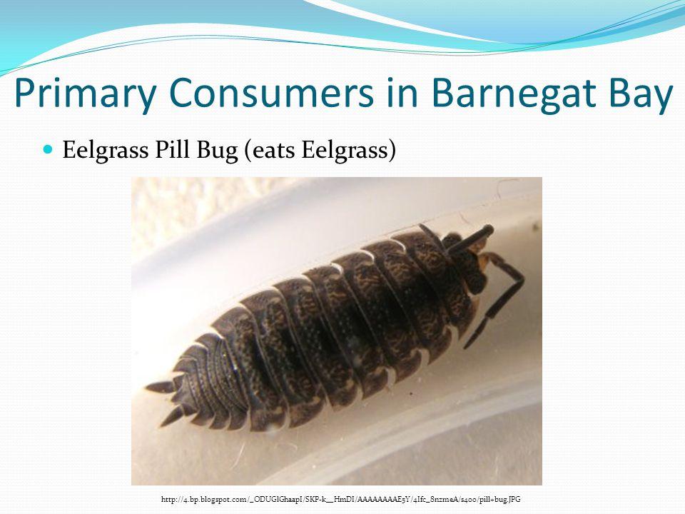 Primary Consumers in Barnegat Bay