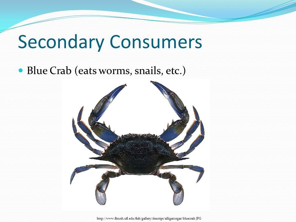 Secondary Consumers Blue Crab (eats worms, snails, etc.)