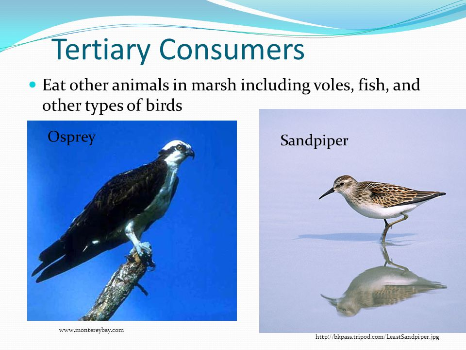 Tertiary Consumers Eat other animals in marsh including voles, fish, and other types of birds. Osprey.