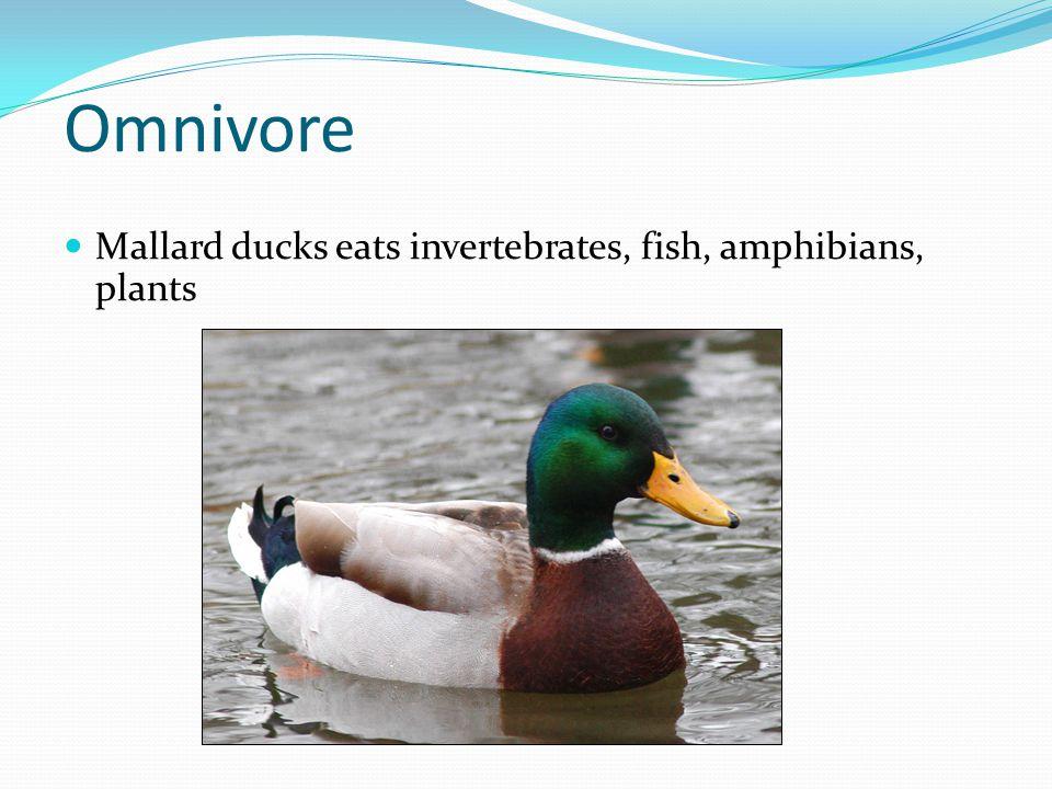 Omnivore Mallard ducks eats invertebrates, fish, amphibians, plants
