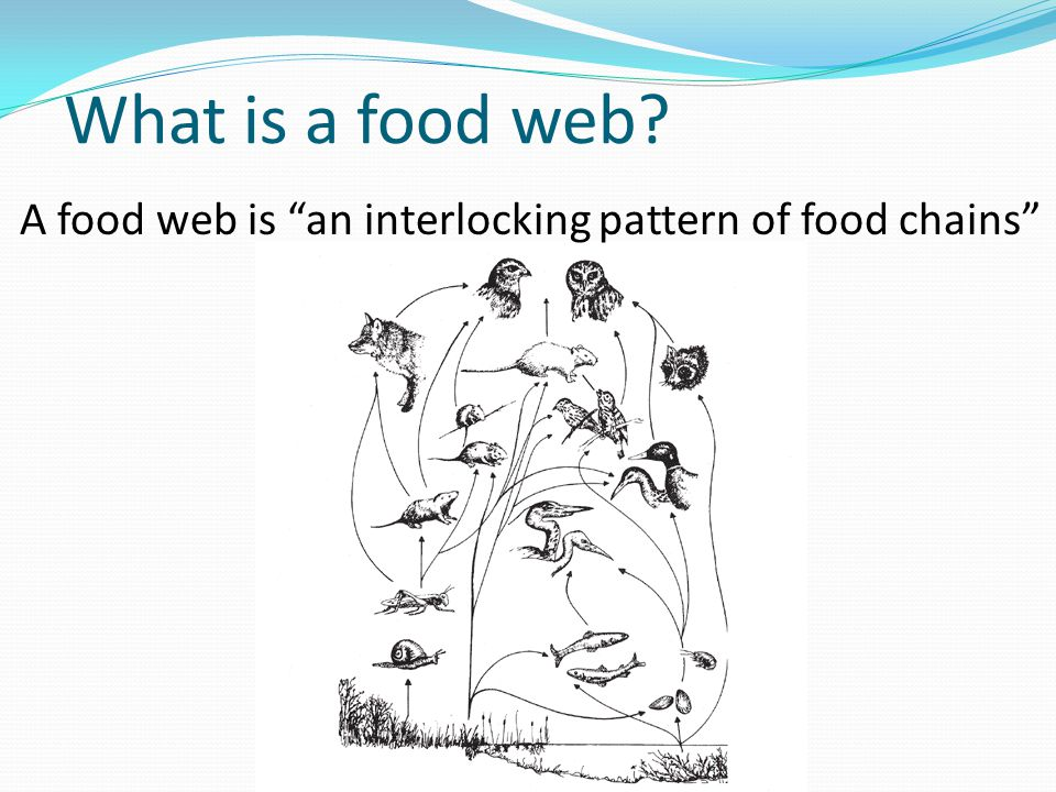 What is a food web A food web is an interlocking pattern of food chains