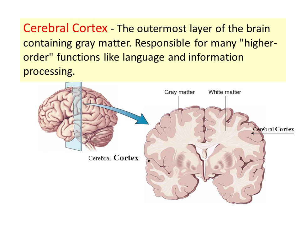 Cerebral Cortex The Outermost Layer Of The Brain Containing Gray