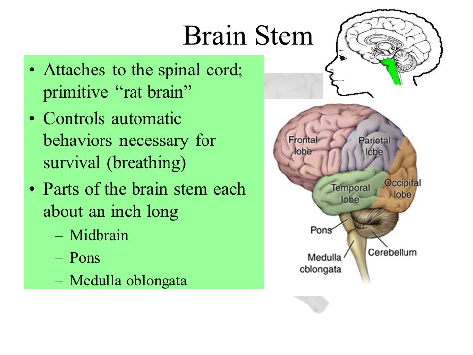 Brain Stem Attaches to the spinal cord; primitive rat brain