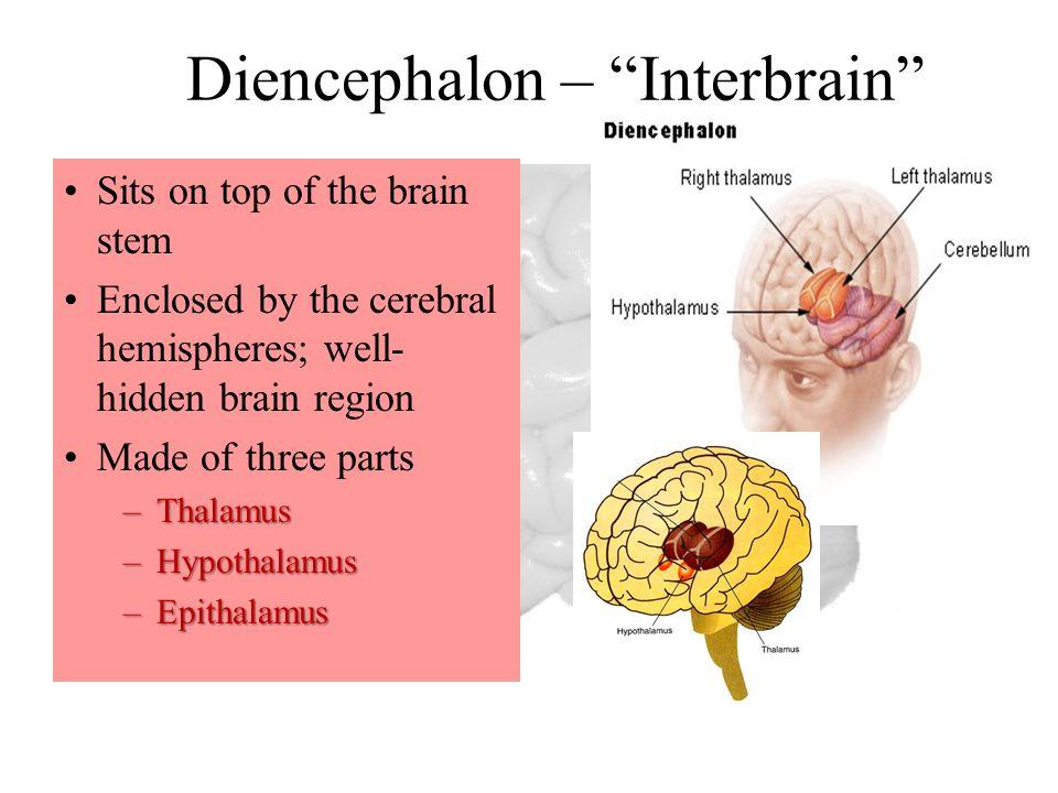 Diencephalon – Interbrain