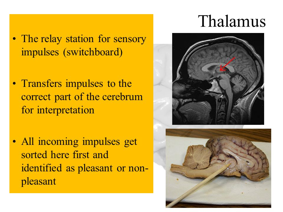 Thalamus The relay station for sensory impulses (switchboard)