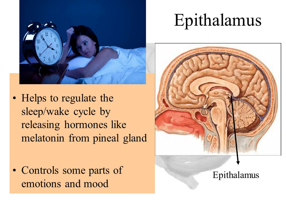 Epithalamus Helps to regulate the sleep/wake cycle by releasing hormones like melatonin from pineal gland.