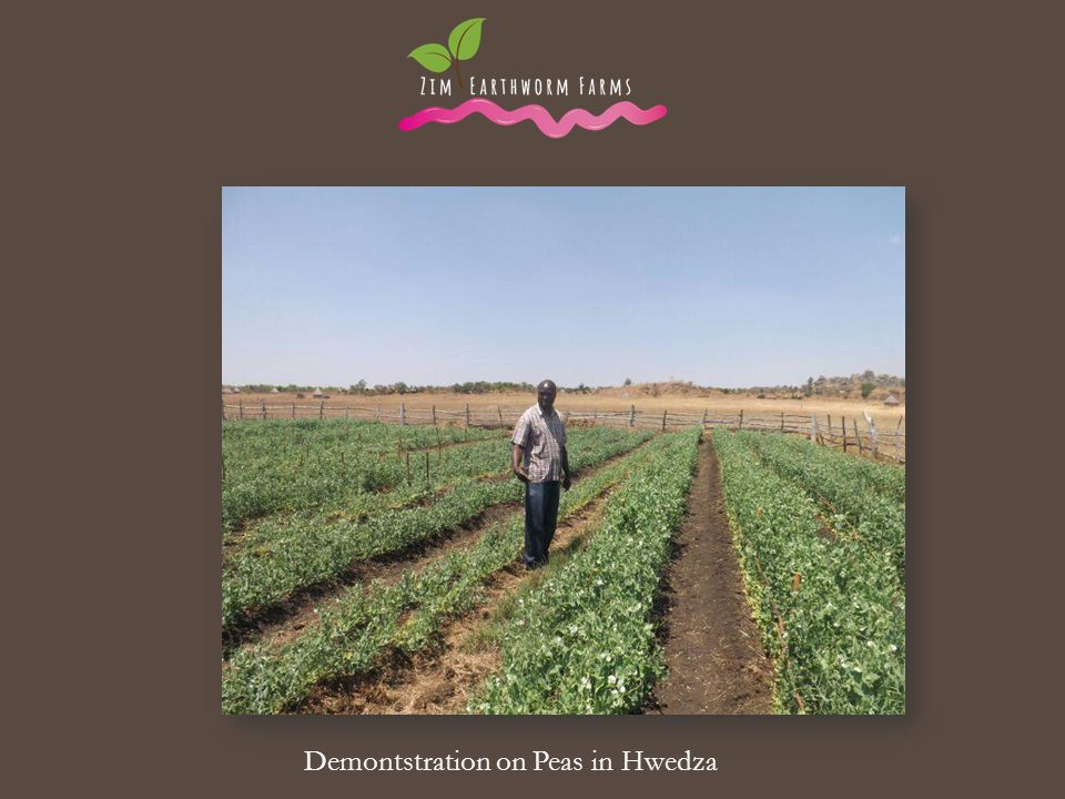Demontstration on Peas in Hwedza