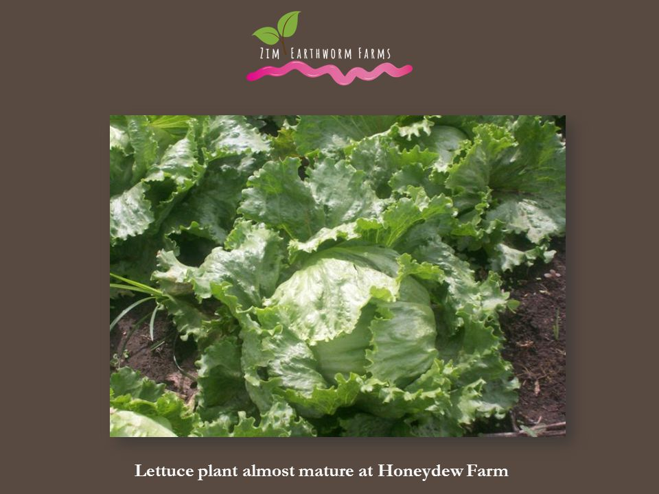 Lettuce plant almost mature at Honeydew Farm