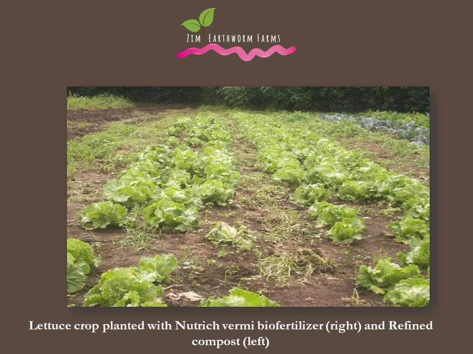 . . Lettuce crop planted with Nutrich vermi biofertilizer (right) and Refined compost (left)