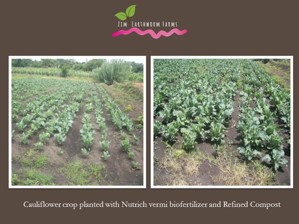 . . Cauliflower crop planted with Nutrich vermi biofertilizer and Refined Compost