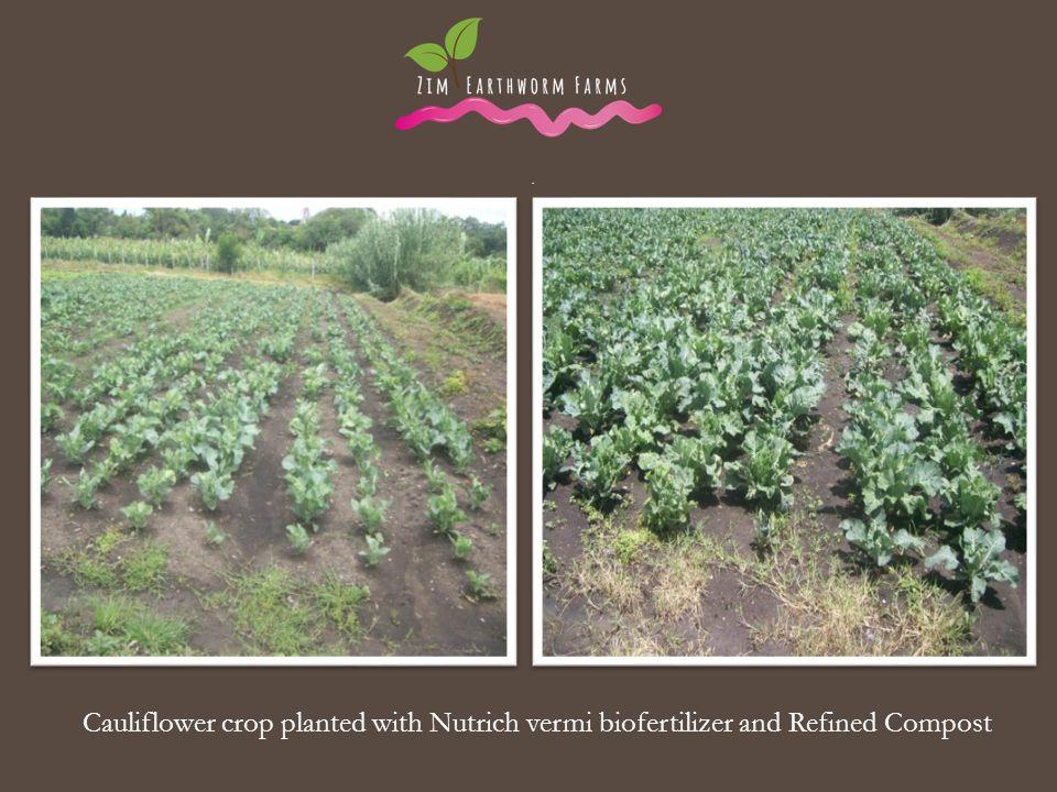 . . Cauliflower crop planted with Nutrich vermi biofertilizer and Refined Compost