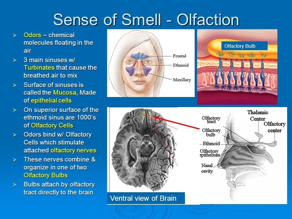 Sense of Smell - Olfaction