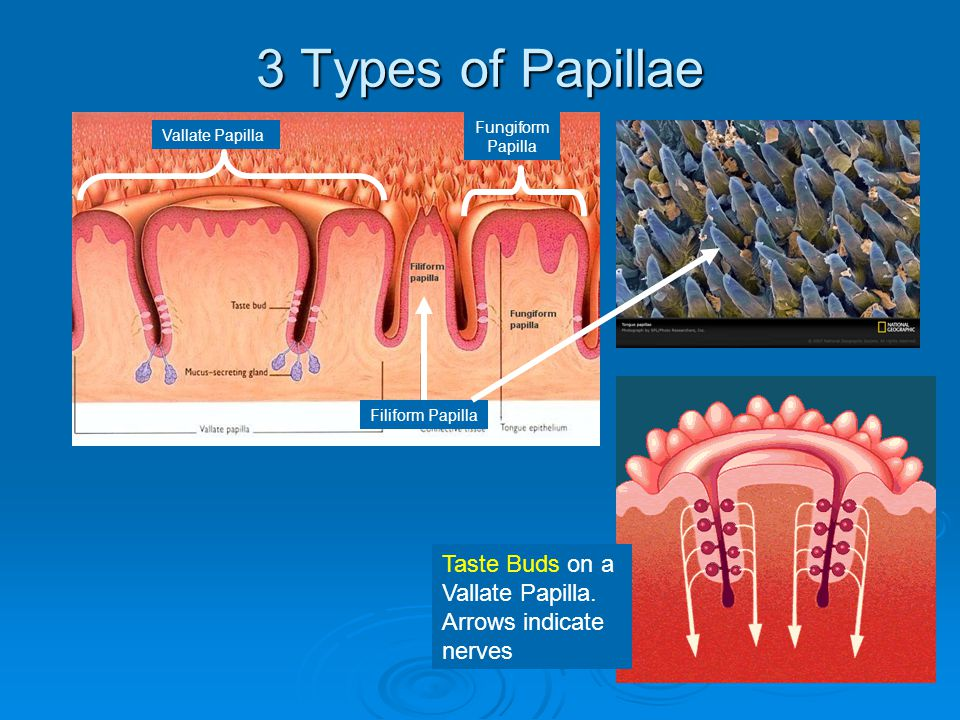 3 Types of Papillae Fungiform Papilla. Vallate Papilla.