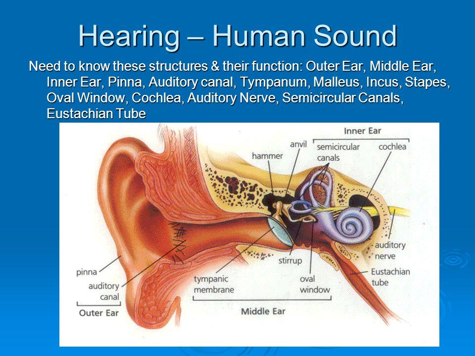 Hearing – Human Sound