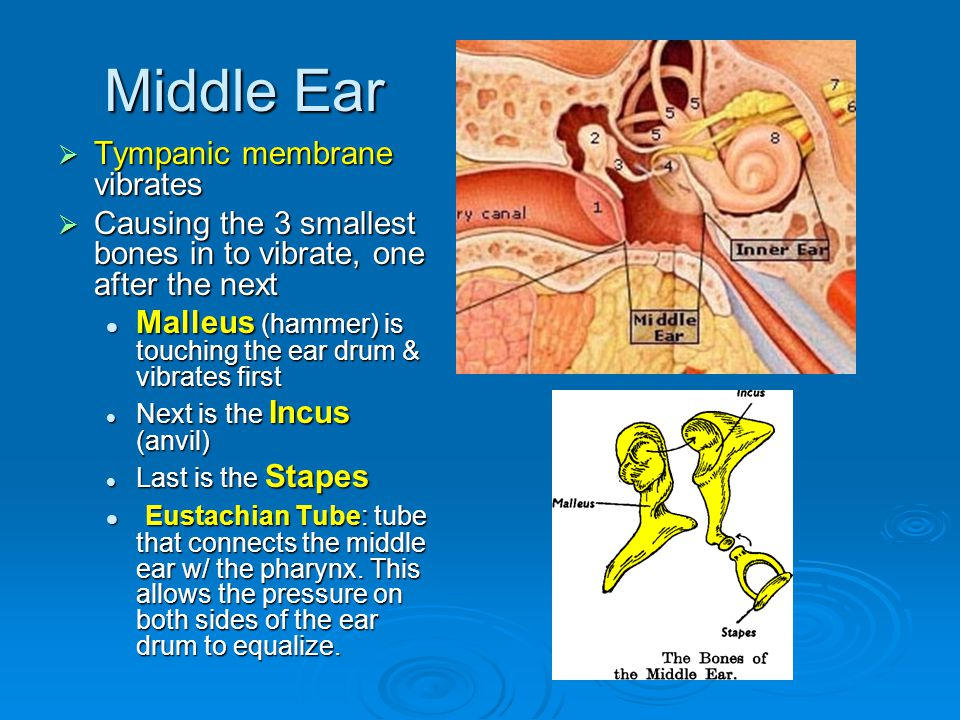 Middle Ear Tympanic membrane vibrates