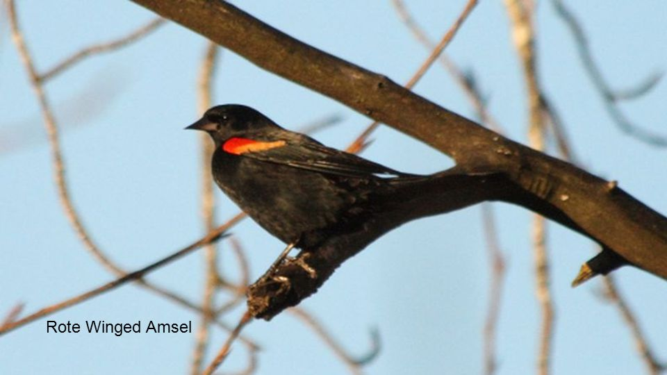 Rote Winged Amsel