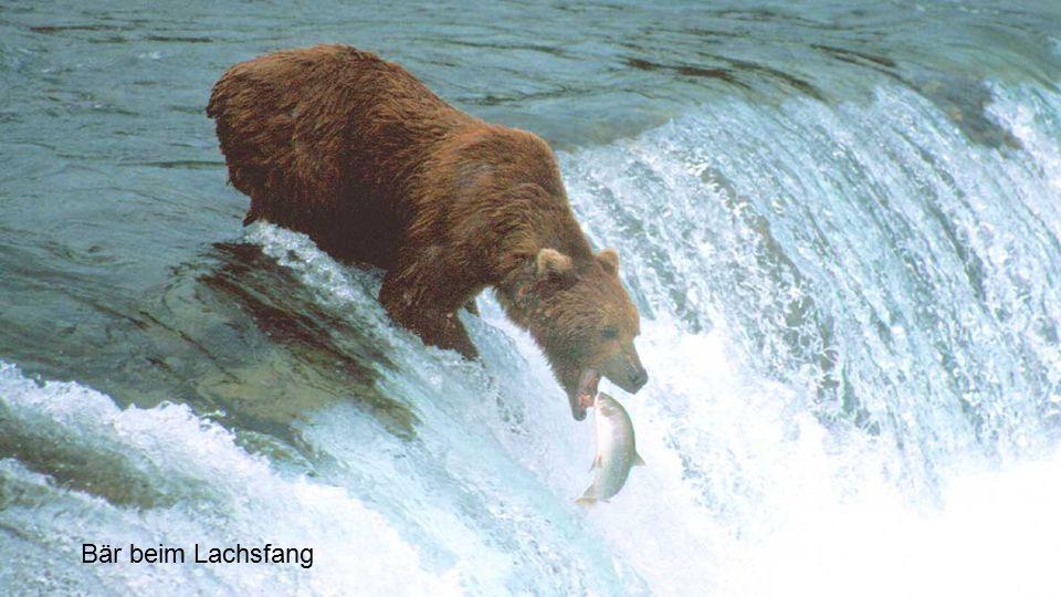Bär beim Lachsfang