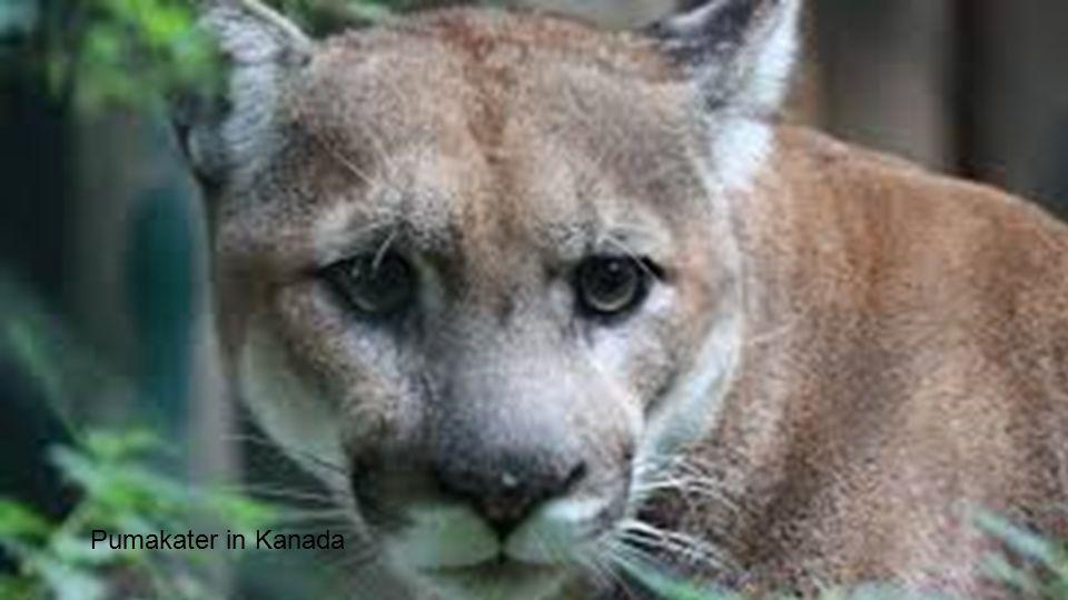 Pumakater in Kanada