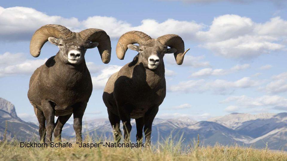 Dickhorn Schafe. Jasper -Nationalpark.