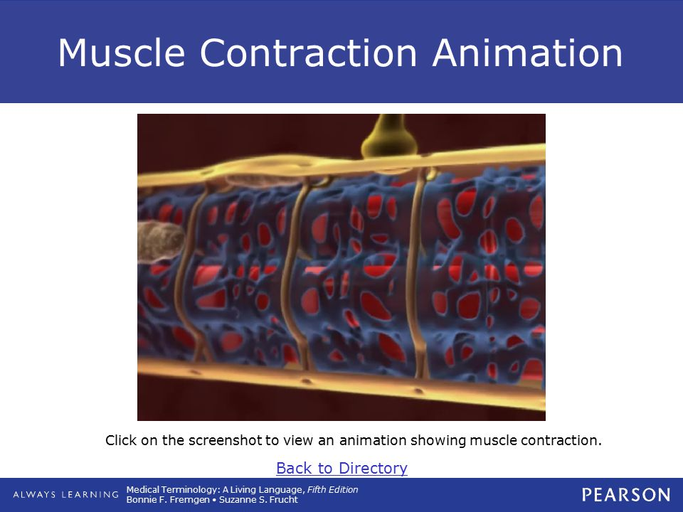 Muscle Contraction Animation