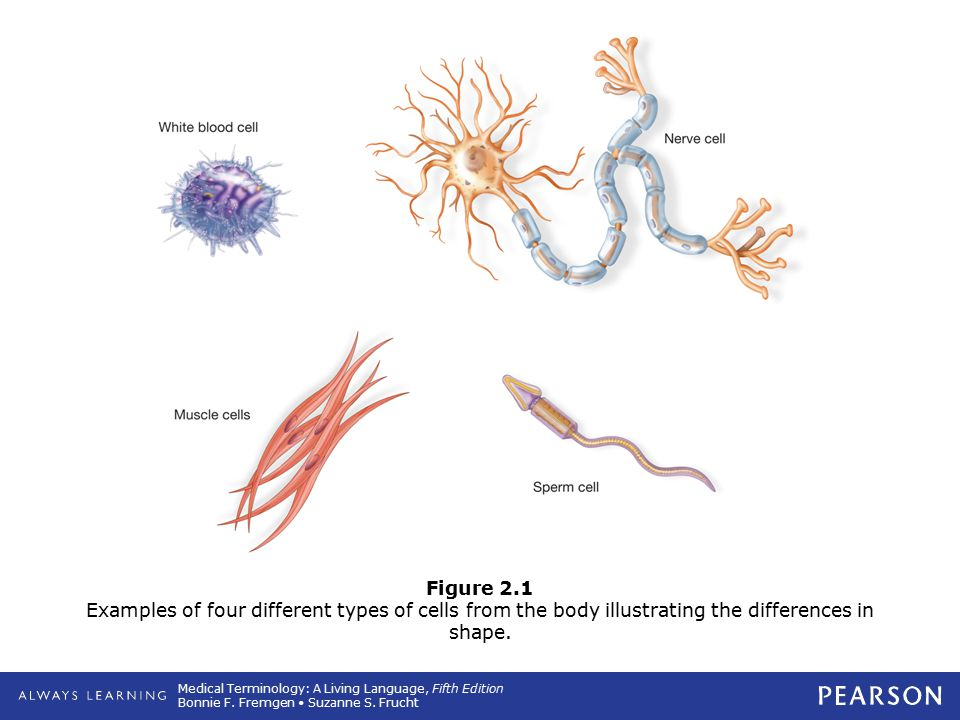 Figure 2.1 Examples of four different types of cells from the body illustrating the differences in shape.