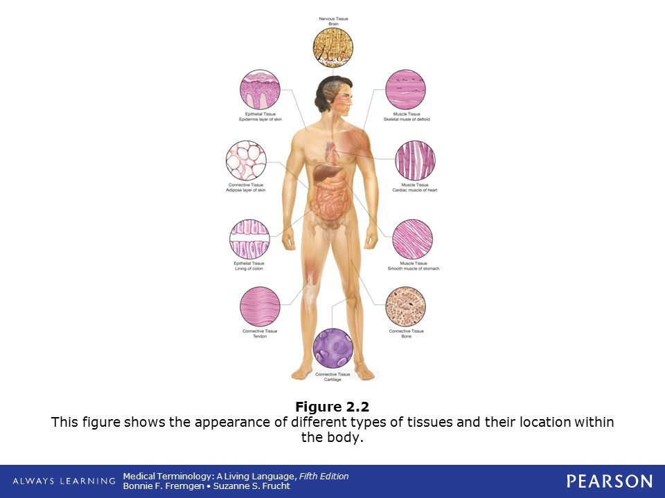 Figure 2.2 This figure shows the appearance of different types of tissues and their location within the body.