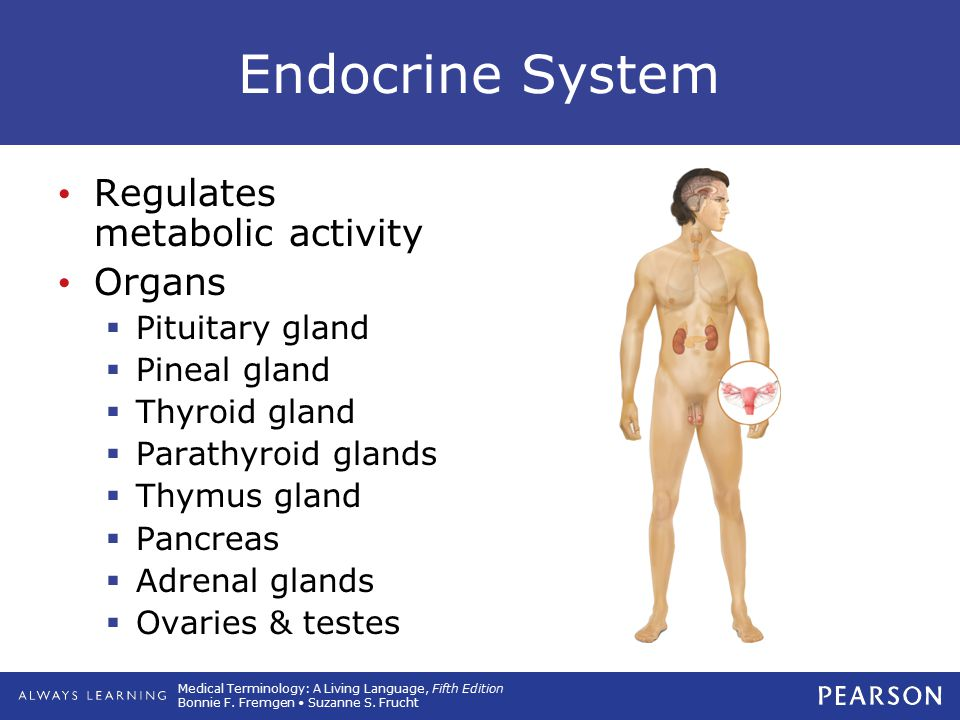 Endocrine System Regulates metabolic activity Organs Pituitary gland