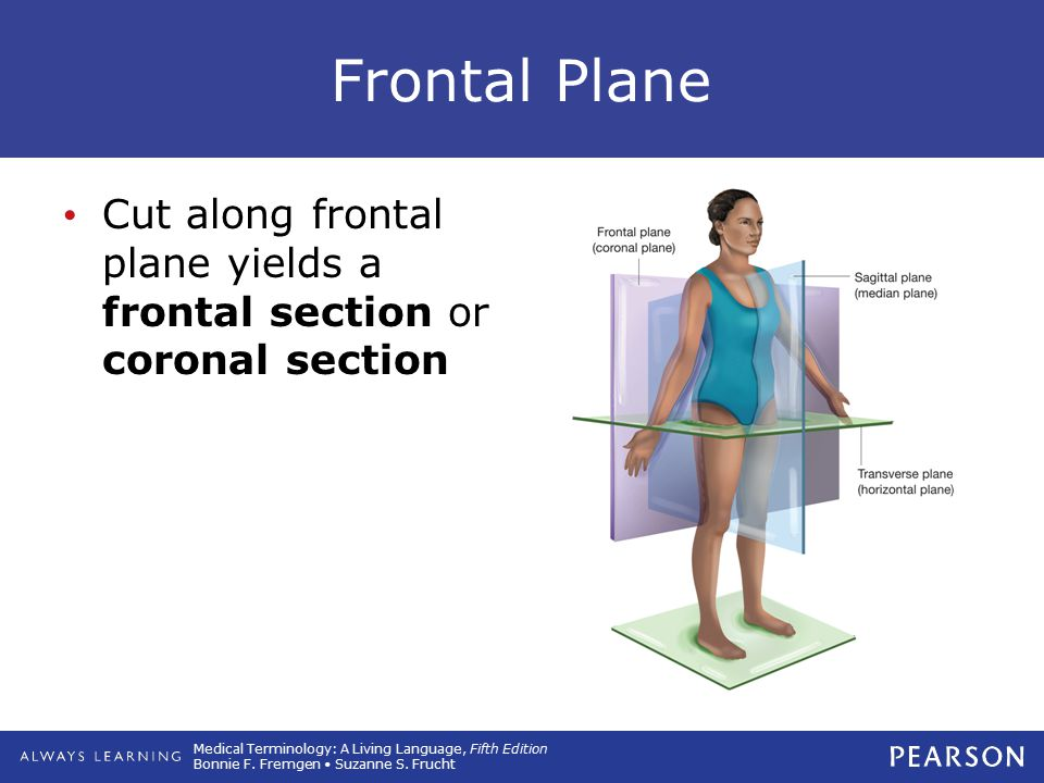 Frontal Plane Cut along frontal plane yields a frontal section or coronal section