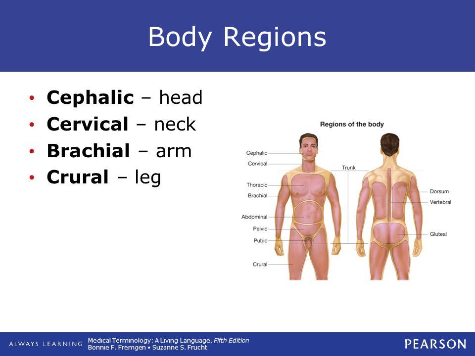 Body Regions Cephalic – head Cervical – neck Brachial – arm