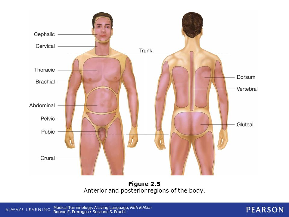 Figure 2.5 Anterior and posterior regions of the body.