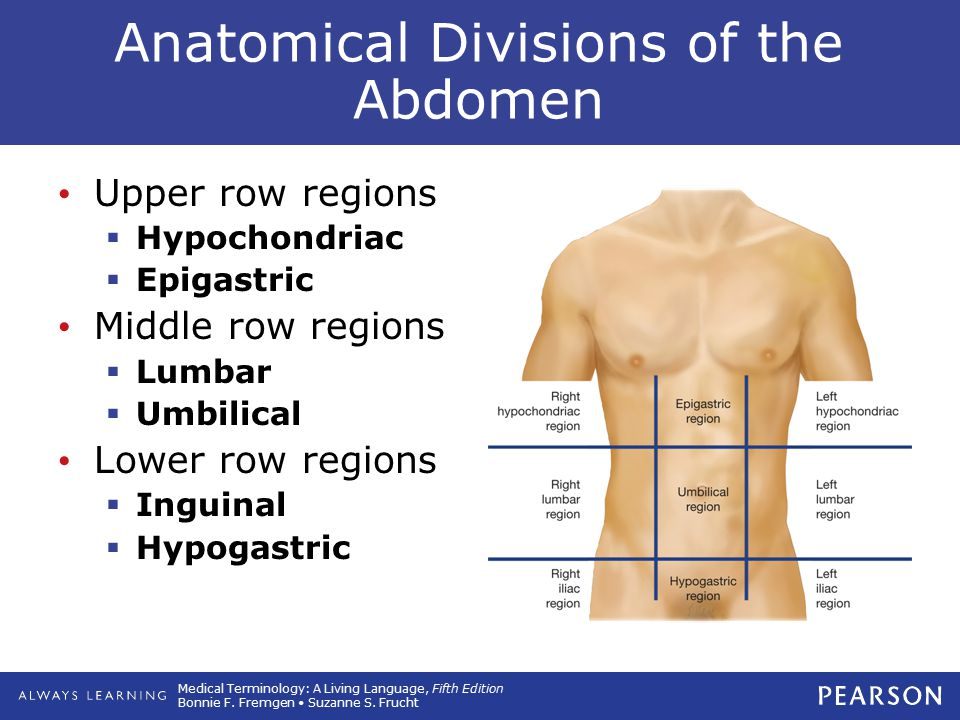 Anatomical Divisions of the Abdomen