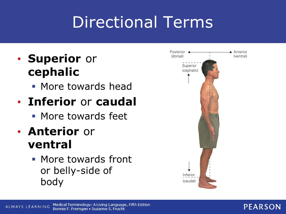 Directional Terms Superior or cephalic Inferior or caudal