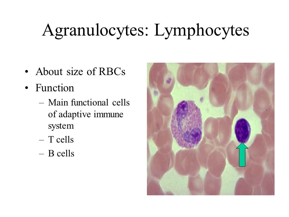 Agranulocytes: Lymphocytes