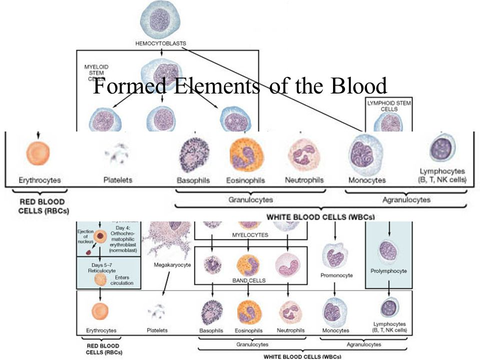 Formed Elements of the Blood