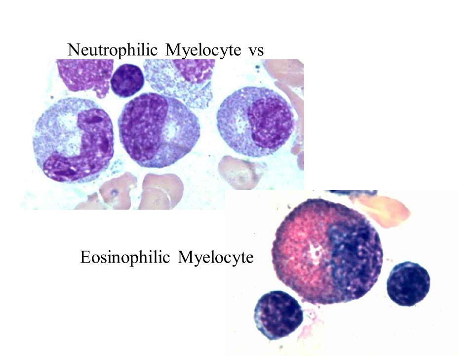 Neutrophilic Myelocyte vs