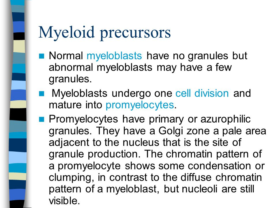 Myeloid precursors Normal myeloblasts have no granules but abnormal myeloblasts may have a few granules.