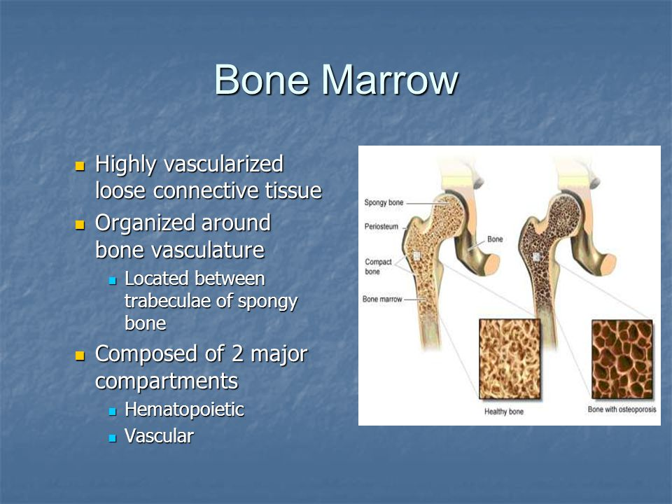 Bone Marrow Highly vascularized loose connective tissue