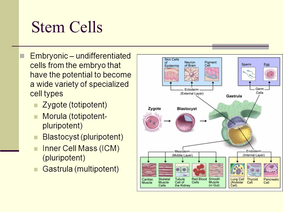 Stem Cells Embryonic – undifferentiated cells from the embryo that have the potential to become a wide variety of specialized cell types.