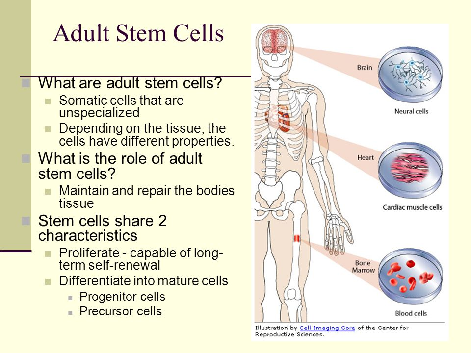 Adult Stem Cells What are adult stem cells