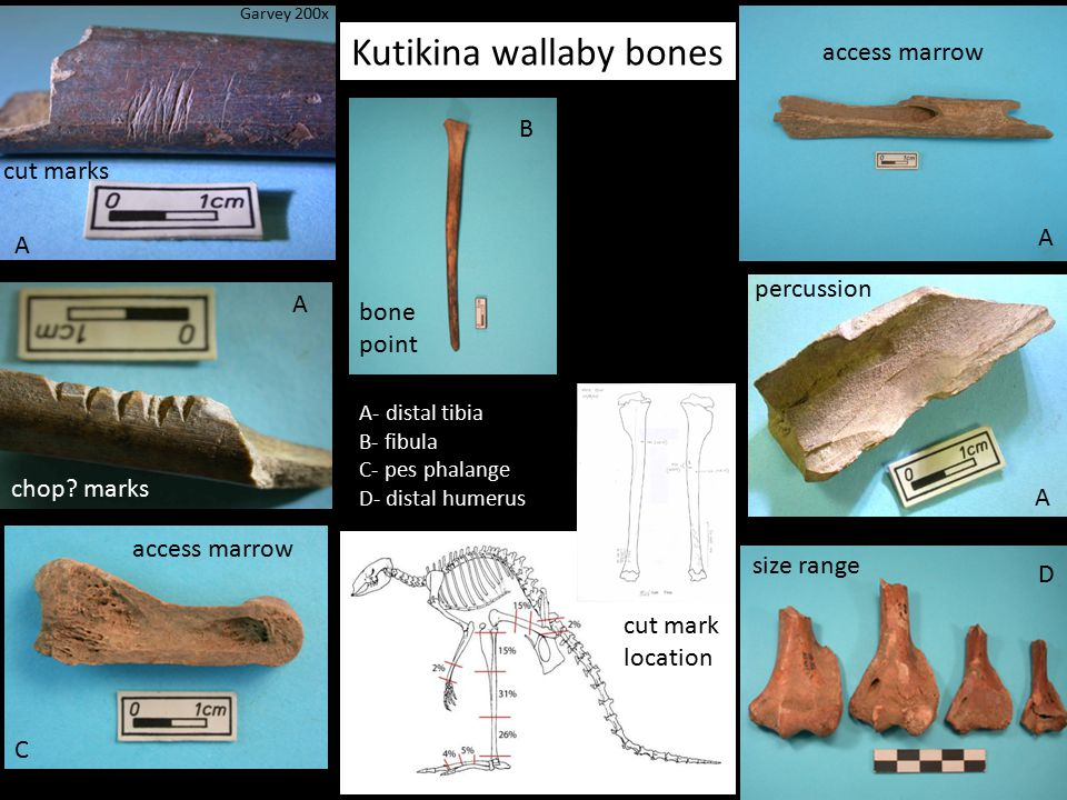 Kutikina wallaby bones