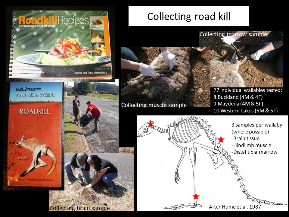 Collecting road kill Collecting marrow sample Collecting muscle sample