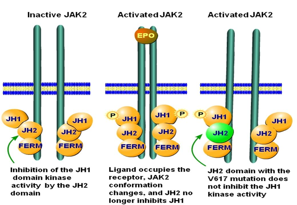STRUCTURE OF JAK2 Four-point-one Ezrin Radixin Moesin domain